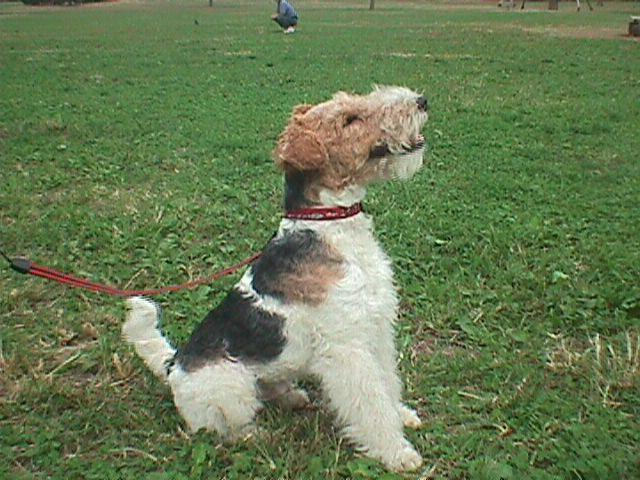 Wire Fox Terrier sitting