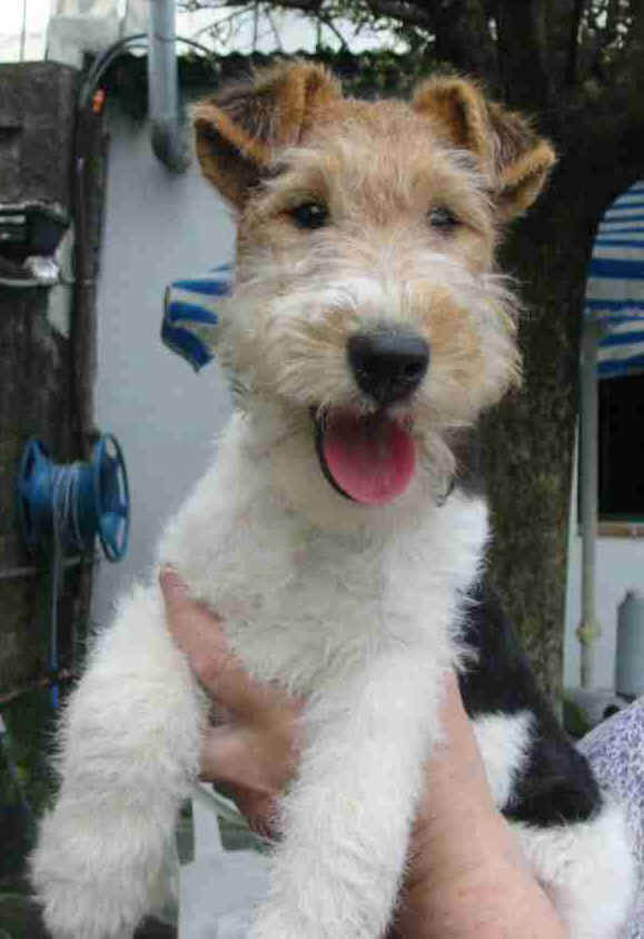 Wire Fox Terrier looking happy