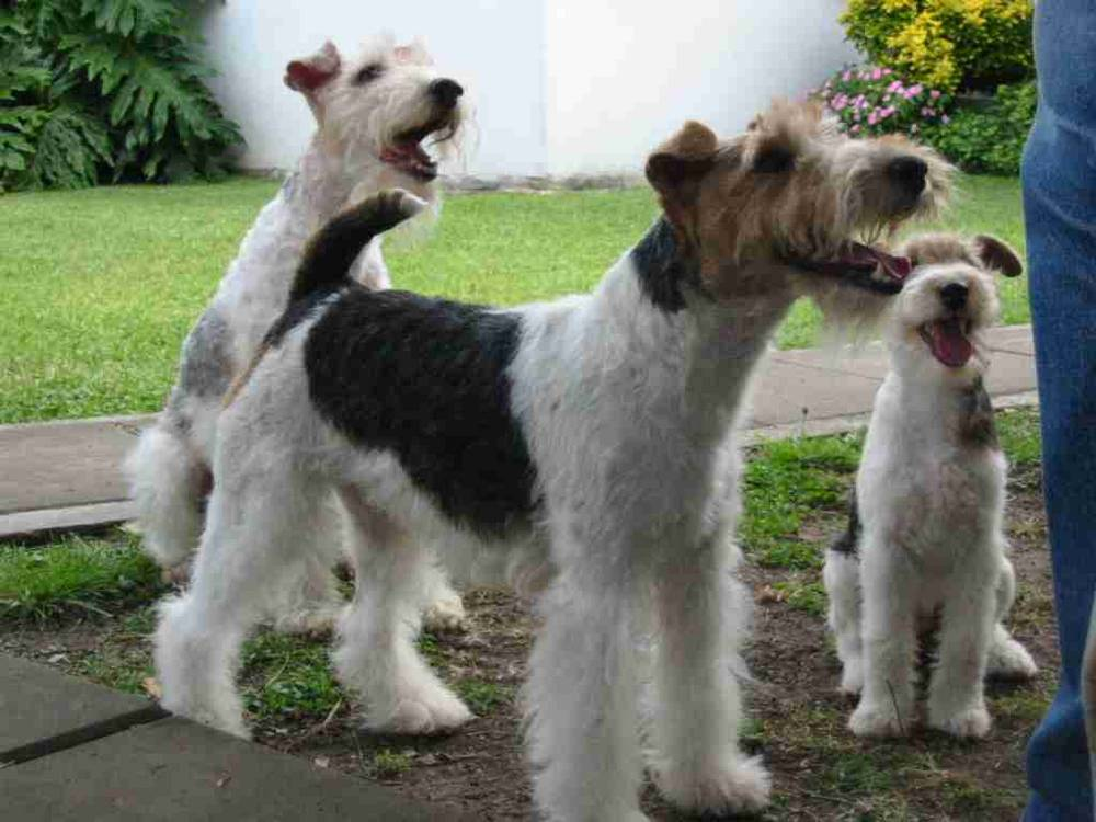 Wire Fox Terrier's looking up