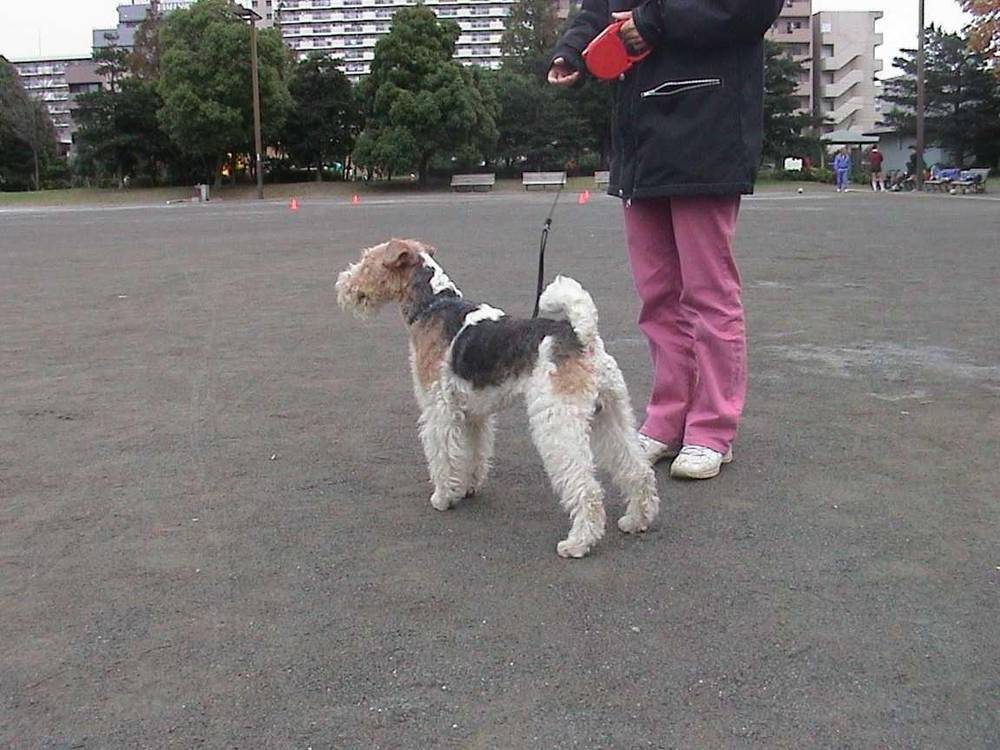 Wire Fox Terrier with owner