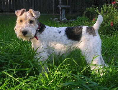 female Wire Fox Terrier