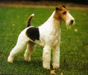 a very focused Wire Fox Terrier