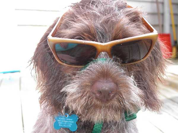 Wirehaired Pointing Griffon with sunglasses