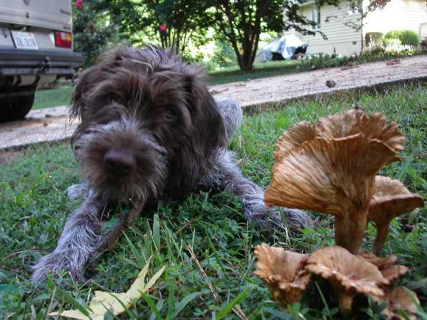Wirehaired Pointing Griffon next to mushrooms