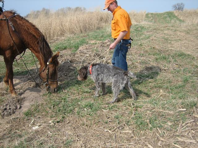 Wirehaired Pointing Griffon meets horse