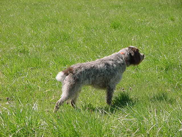 Wirehaired Pointing Griffon pointing