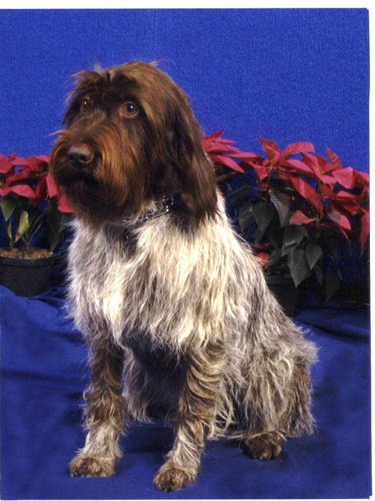 Wirehaired Pointing Griffon posing