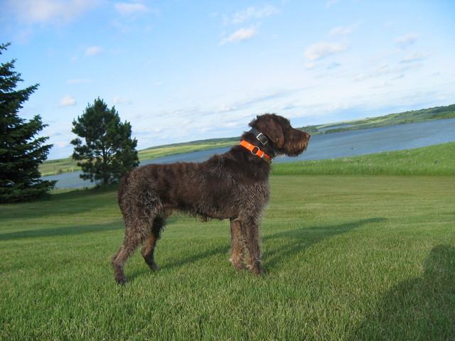 Wirehaired Pointing Griffon in front of pond