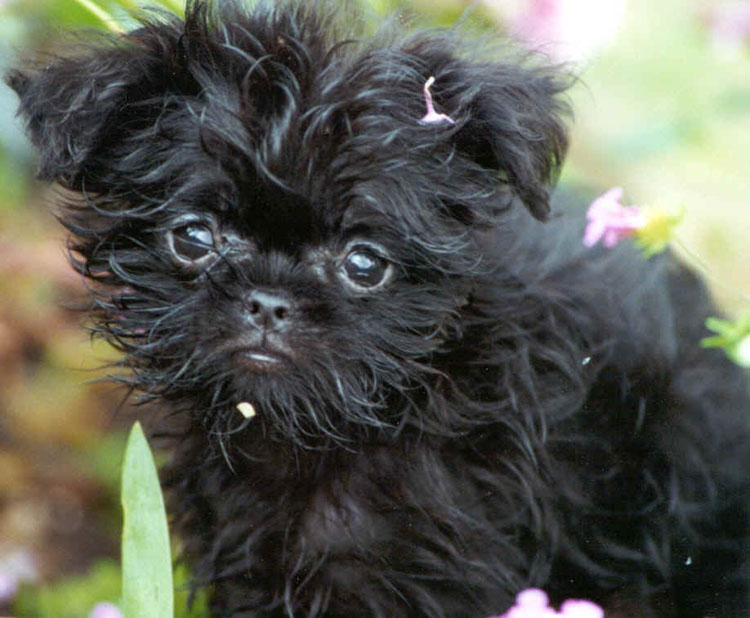 "Precious affenpinscher with her ""puppy dog"" eyes"