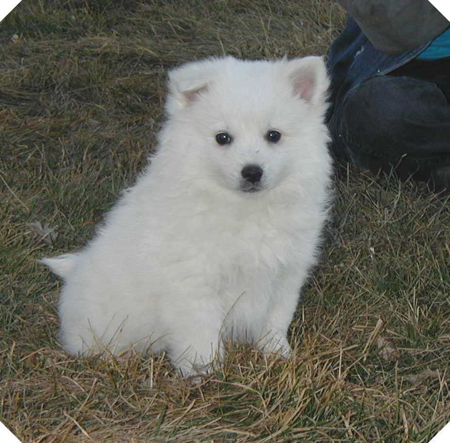 American Eskimo Spitz: description of the breed, nature, conditions of detention, training 63