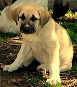 cute anatolian shepherd puppy