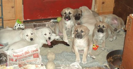 a litter of anatolian shepherd puppies