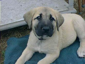 a curious anatolian shepherd pup