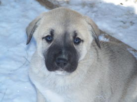 close-up of an anatolian shepherd pup