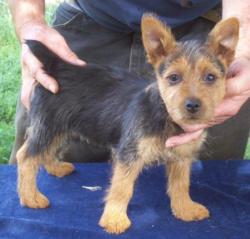 cute australian terrier pup