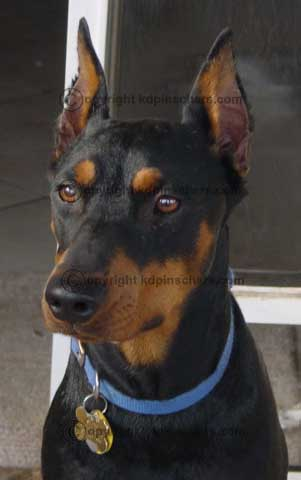 Shane a black/tan.