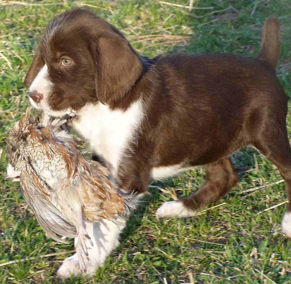 German Wirehaired Pointer Dog Breed Information, Puppies & Pictures
