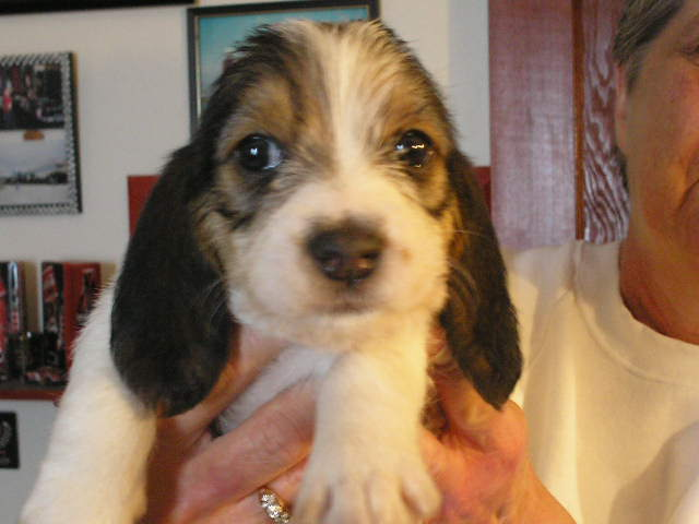 Female tri color 5 wks