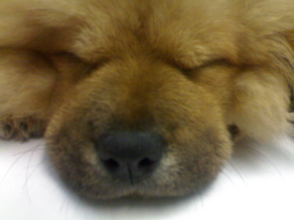 my cute chow-pup's dreaming
