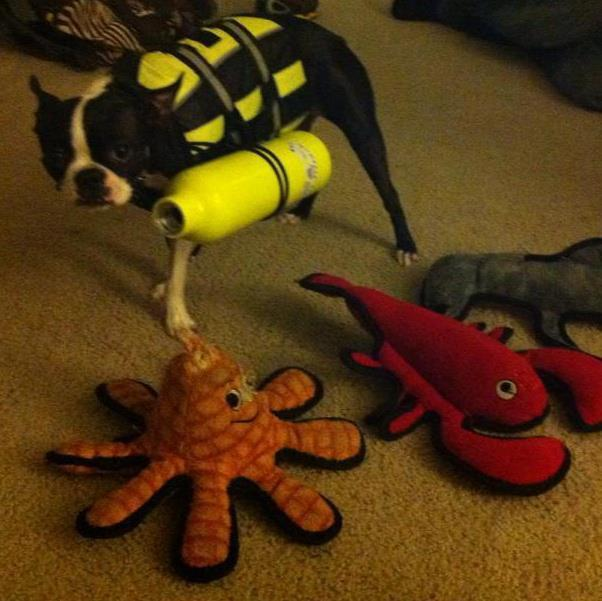Peepers the Boston Terrier as a scuba diver