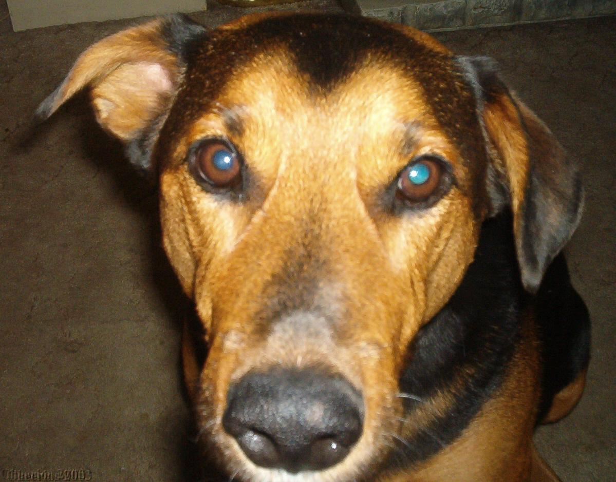 Doberman pinscher dog breed information puppies pictures for Pinscher temperamento