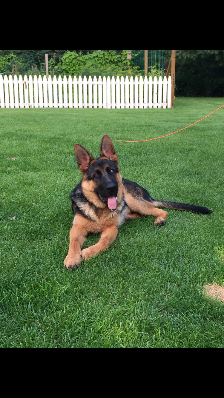 Baba - 2 yr. old male German Shepard