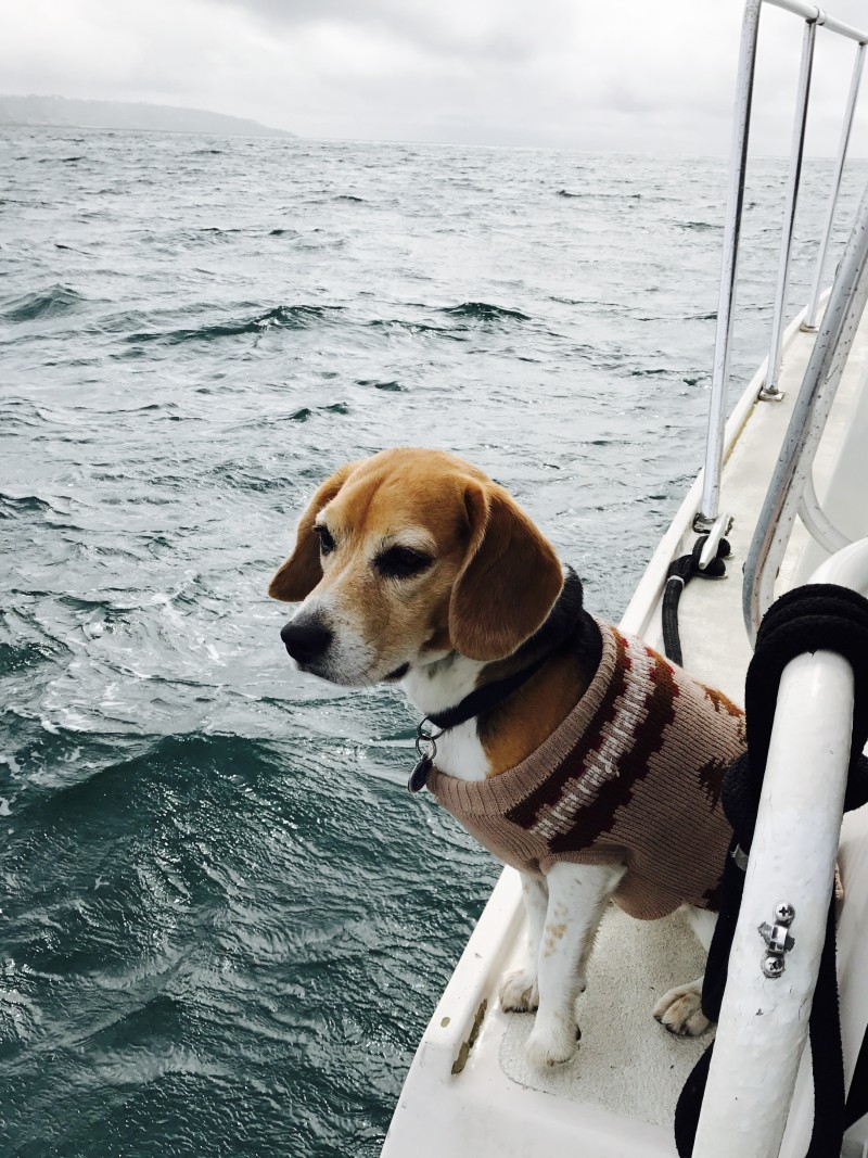 Captain the Boat Beagle