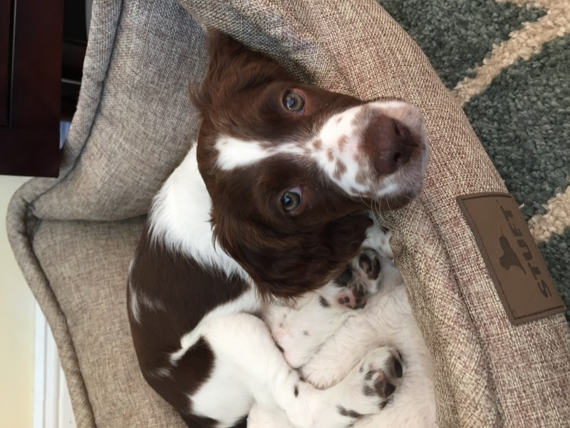 Junie pup