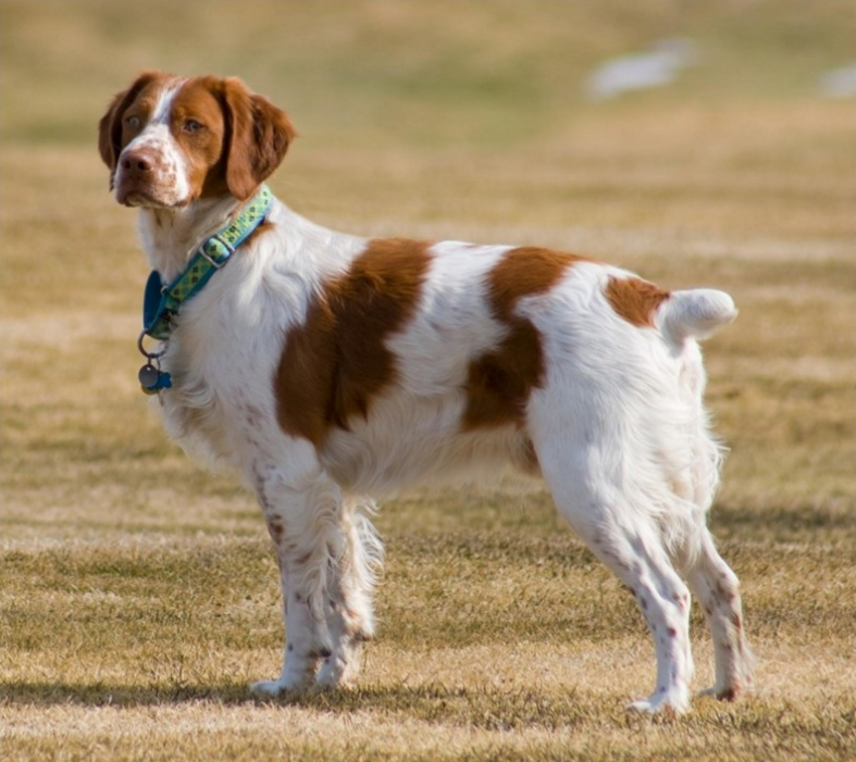 French Brittany Dog
