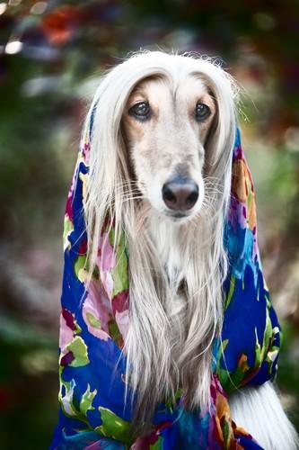 funny Afghan Hound wearing a shawl