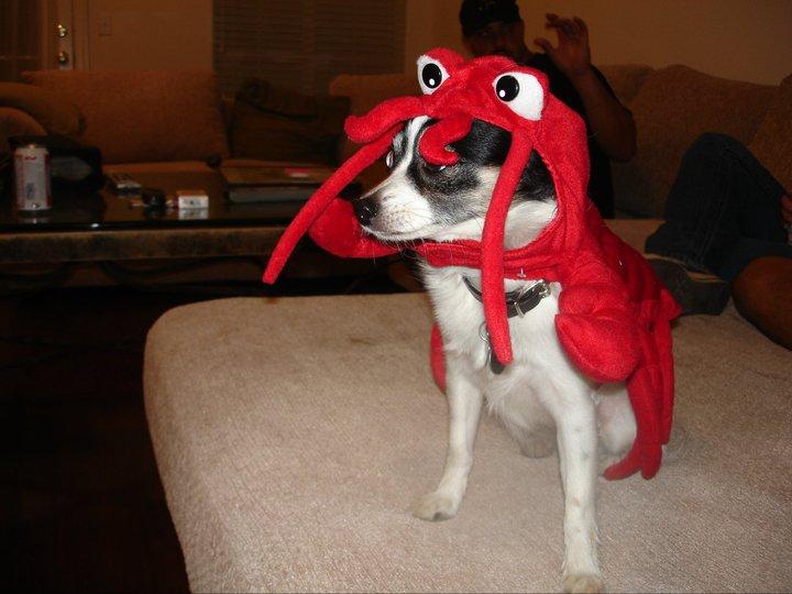 Chihuahua in a Lobster Costume