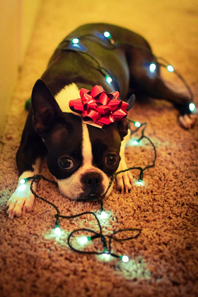 Peepers the Boston Terrier as a Christmas present