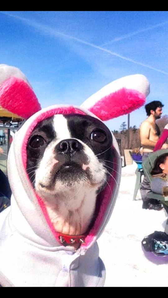 Peepers the Boston Terrier as the Easter Bunny