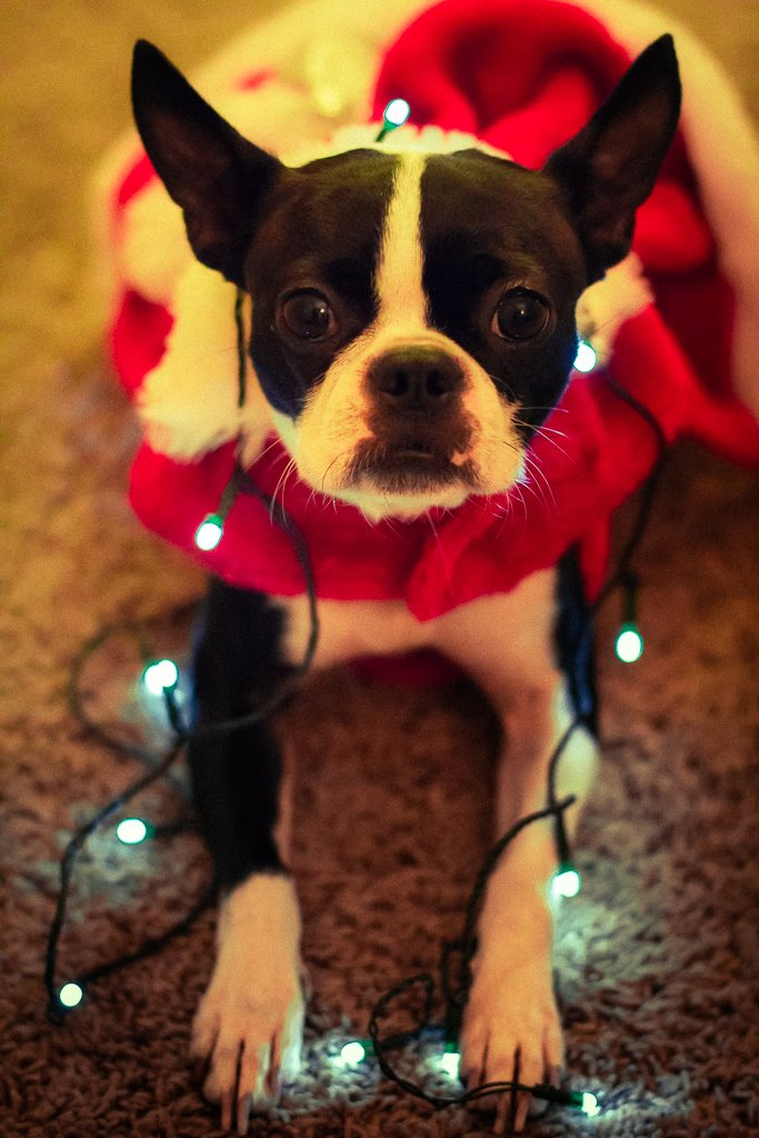 Peepers the Boston Terrier as Mrs. Claus