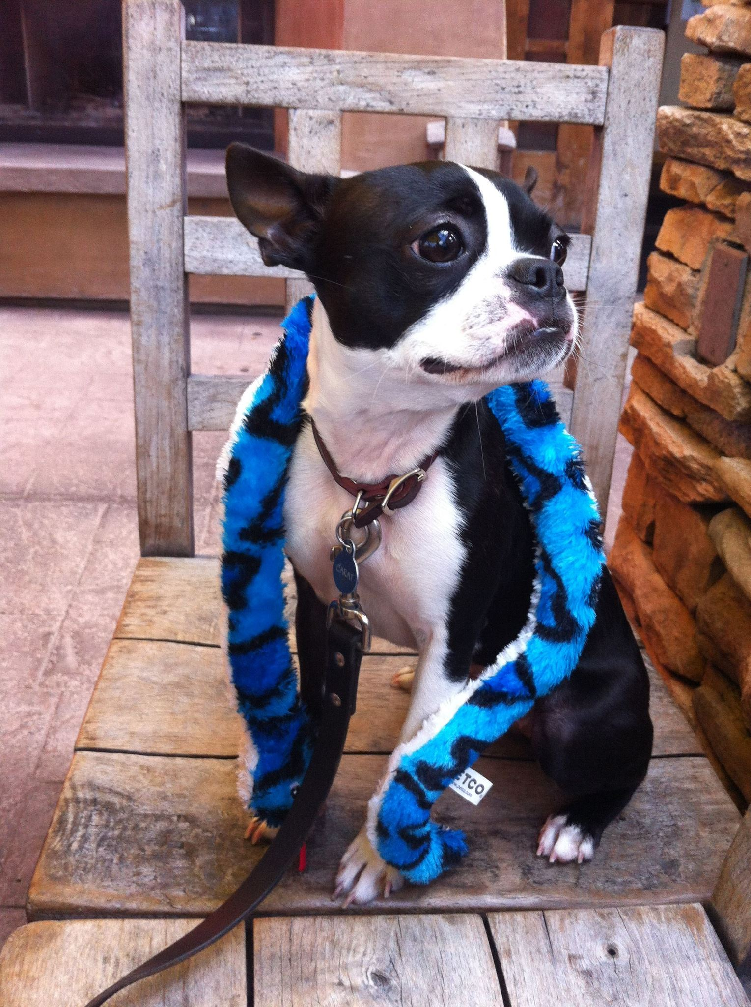 Peepers the Boston Terrier as Britney Spears