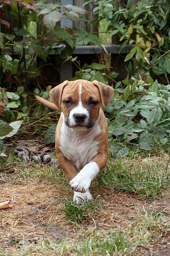 Staffordshire Terrier Playing in the Backyard