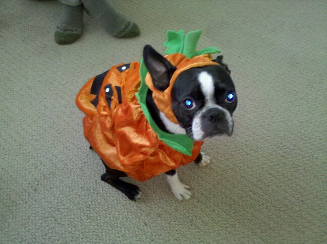 Boston Terrier Pumkin