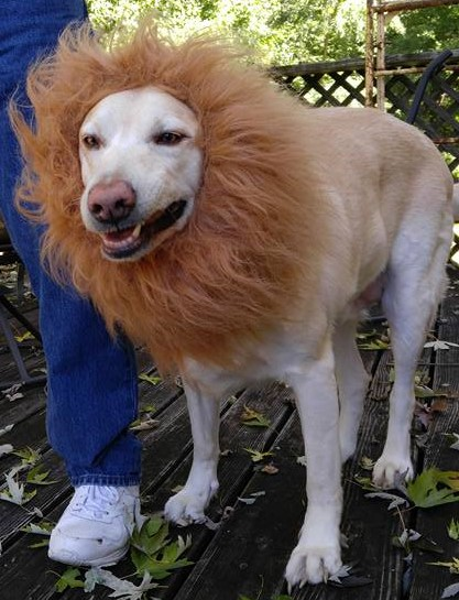 Bailey the Lion