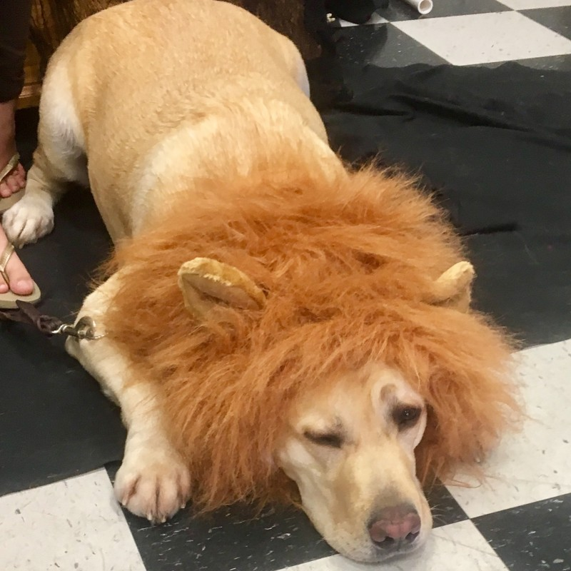 Lazy Lovable Labrador Lion