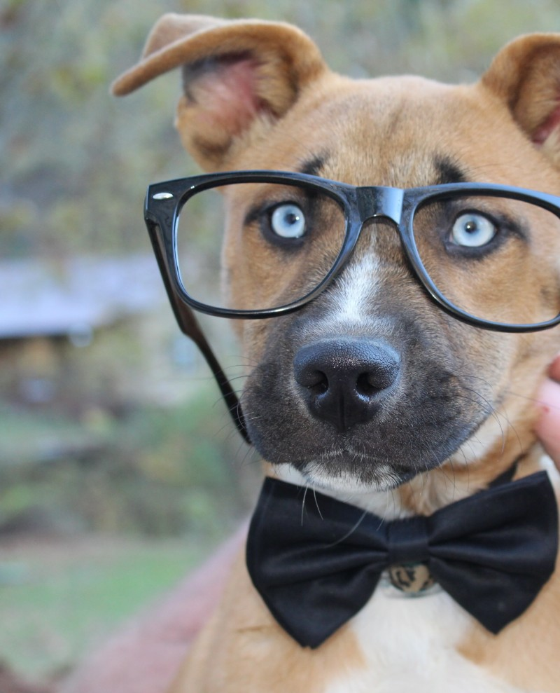 Maggie, the nerdy pitsky pup!