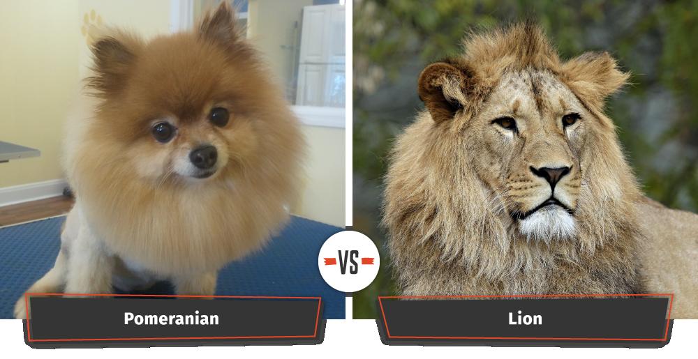 Pomeranian looks like a lion