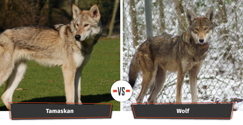 Dogs That Look Like Wolves Game Of Thrones