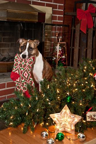 dog eating christmas stocking