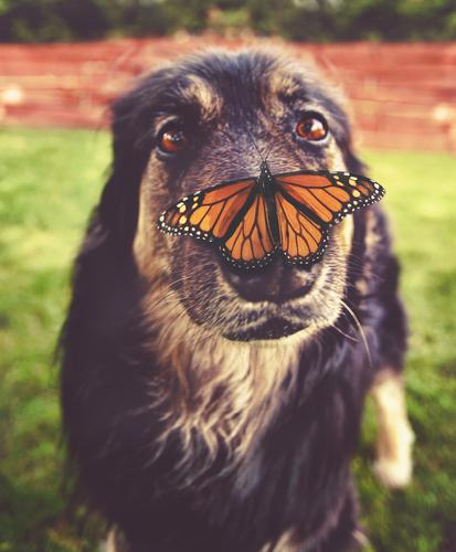 german shepherd with butterfly on his nose