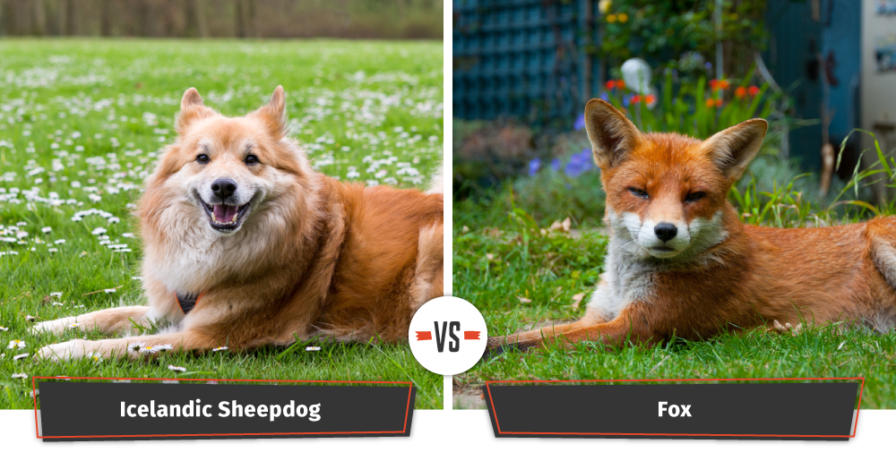 icelandic sheepdog vs fox