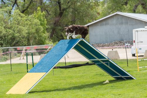 dog running over a frame in dog agility obstacle course