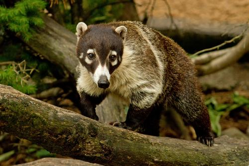 white nosed coati in a tree
