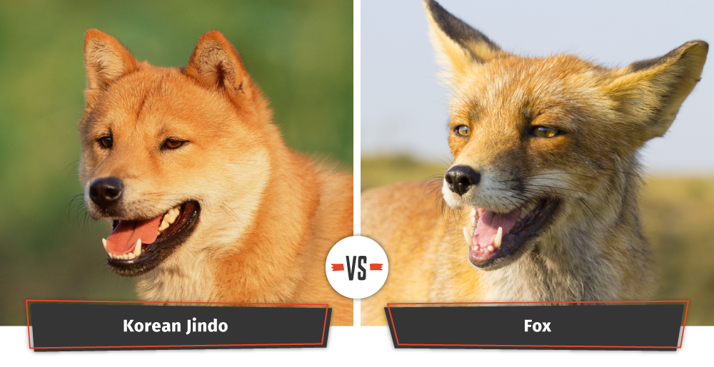 korean jindo vs fox
