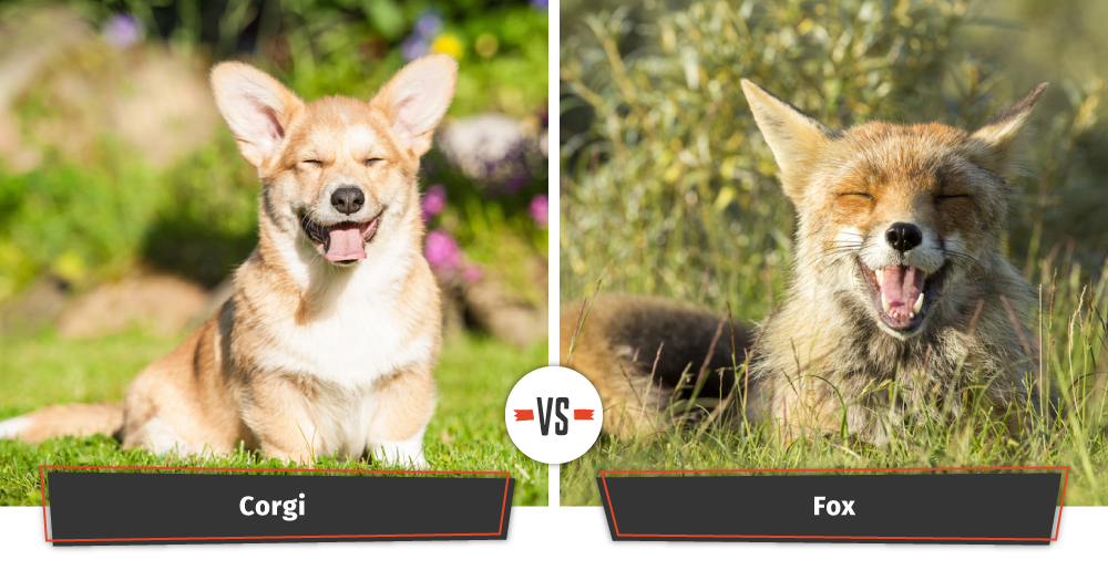 corgi vs fox