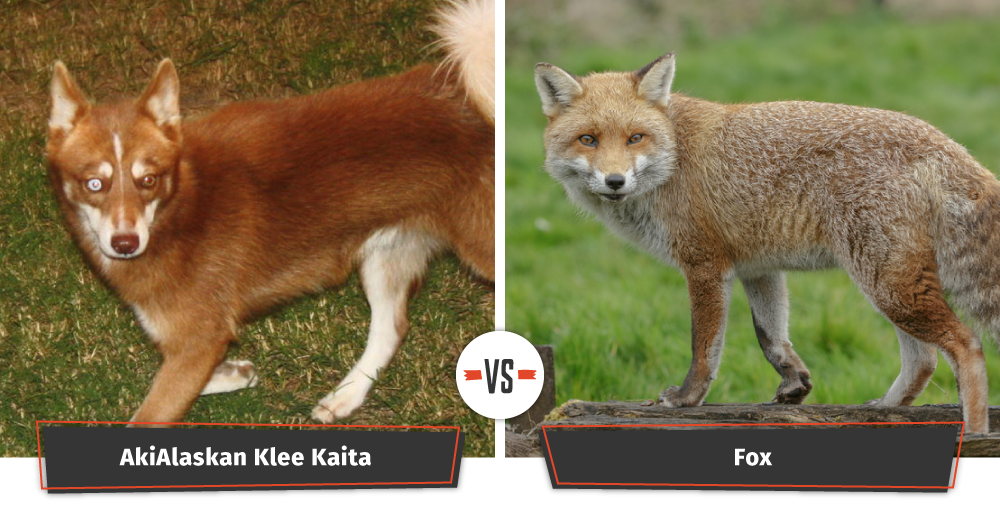 alaskan klee kai vs fox